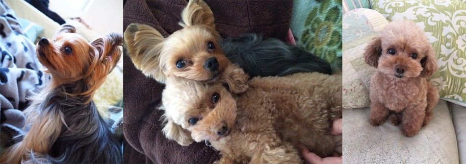 Koko the toy poodle, and Natsu the Yorkshire terrier